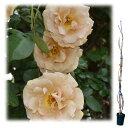 バラの苗/つるバラ:バタースコッチ 大苗長尺6号ポット