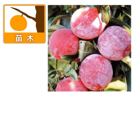 【ラッキーシール対応】果樹の苗/スモモ(プラム):彩の姫(さいのひめ)4.5号ポット