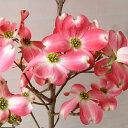 若木のうちから開花する赤花種花木 庭木の苗/ハナミズキ:レッドジャイアント6号ポット