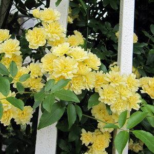 常緑性のとげなしつるばらバラの苗/長尺つるもの:モッコウバラ黄花八重5号ポット長さ1.5?2m