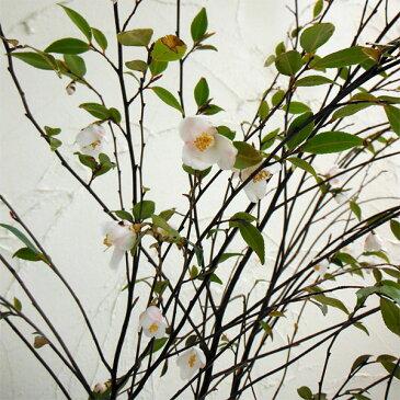 【ラッキーシール対応】花木 庭木の苗/カメリア:エリナカスケード4〜5号ポット