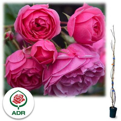 樹高約1.2m 四季咲きつるバラ:ポンポネッラ 大苗長尺6号ポット