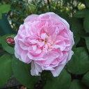 一季咲き 香りの良い強健シュラブローズバラの苗/オールドローズ:ファンタン ラトゥール大苗[...