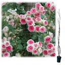 バラの苗/つるバラ:ミミエデン大苗長尺6号ポット