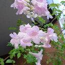 落葉性草花の苗/長尺つるもの:ノウゼンカズラ(ピンク)5号長さ1.5m