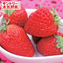 春も秋も獲れる上質な甘さ・サントリー本気野菜やさいの苗/イチゴ:ドルチェベリー3号ポット05P...