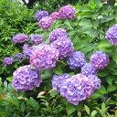 苗花木 庭木の苗/アジサイ:造園用在来種のアジサイ青花5号ポット