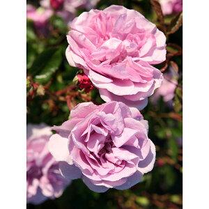 繊細なパールバイオレットの四季咲き種つるバラ:レイニーブルー新苗