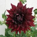 ダリア(中大輪咲):黒蝶(こくちょう)6号鉢植え