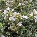 明るい覆輪葉が美しい常緑低木花木 庭木の苗/アベリア:ラッキーロット5号ポット10株セット
