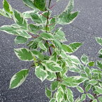 花木 庭木の苗/サンゴミズキ(コルヌスアルバ):エレガンティシマ6号ポット