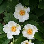 花木 庭木の苗/ナツツバキ(夏椿・シャラ):涼風3.5号2株セット