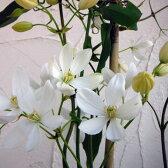 クレマチスの苗/クレマチス:アーマンディ 4.5号ポット(常緑系)