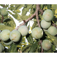甘味が強くおいしいすもも 苗木果樹の苗/スモモ(プラム):ソルダム4~5号ポット