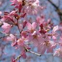 サクラ・エドヒガン系花木 庭木の苗/桜:紅枝垂れ(ベニシダレ)接木苗4〜5号ポット