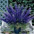 草花の苗/デルフィニウム:F1オーロラディープパープル3号ポット2株セット