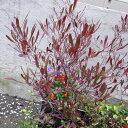 大型 深紫赤色の細長葉が美しい常緑樹花木 庭木の苗/ドドナエア:ホップブッシュプルプレア7号...