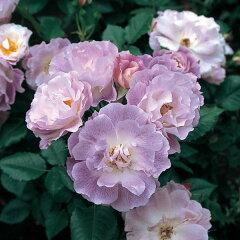 強香の青系人気品種四季咲中輪バラ:ブルーフォーユー新苗5号鉢植え