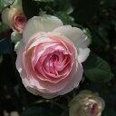 大人気!返り咲き 殿堂のバラ アンティークタッチのバラつるバラ:ピエール・ド・ロンサール新苗