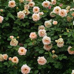 繊細な花色が人気の返り咲き種つるバラ:ロココ大苗