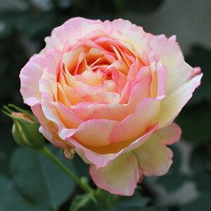 つるバラ・四季咲きデルバールローズ:ペッシュ・ボンボン大苗6号角鉢植え