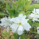 清楚な純白の花花木 庭木の苗/リキュウバイ(利休梅)4.5号ポット