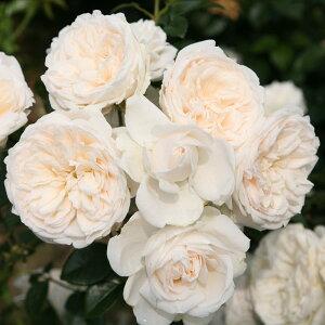 受賞多数の四季咲き種つるバラ:サマー メモリーズ新苗