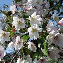 サクラ・エドヒガン系 ソメイヨシノ花木 庭木の苗/桜:染井吉野接木苗4号ポット