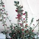 冬は白い葉と赤い花のコントラストが美しい!草花の苗/ホワイトソルトブッシュ(ラゴディア)3号...