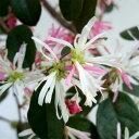 異なる花色が一緒に咲く品種花木 庭木の苗/トキワマンサク:花吹雪(ハナフブキ)3.5号ポット