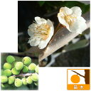 果樹の苗/ウメ(梅):しろかが(白加賀)4〜5号ポット [02P26Mar16]