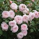 バラの苗/イングリッシュローズ:ジ・オルブライトン・ランブラー大苗5号角鉢