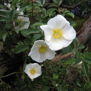 ロサレビガータ 一季咲きつるバラバラの苗/原種バラ:ナニワイバラ挿木苗3.5号