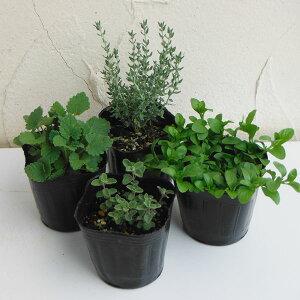 猫が喜ぶキャットミント・キャットニップ・キャットタイム・ペニーロイヤルミントの苗四種セット。猫のおもちゃになるので植えてみようかと。