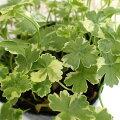 草花の苗/チドメグサ(血止草):斑入りチドメグサ・クリスタルコンフェッティ3号ポット
