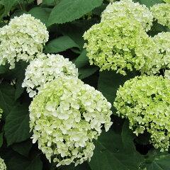 新枝咲きタイプ 大人気商品!花木 庭木の苗/アジサイ:アナベル4〜5号ポット