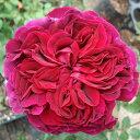 バラの苗/イングリッシュローズ:フォールスタッフ大苗5号角鉢植え