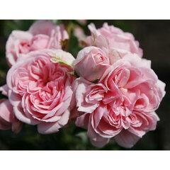 クゥオーターカップの愛らしい花 四季咲きつるバラ:シンデレラ新苗
