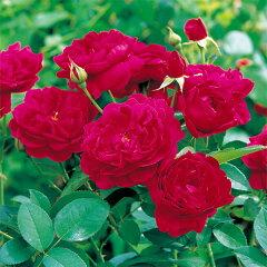 丈夫なクリムゾンレッドの四季咲きバライングリッシュローズ:ダーシー・バッセル大苗5号角鉢