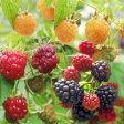 果樹の苗/ 木いちごの苗人気3種セット(ボイソンベリー・インディアンサマー・ファールゴールド)