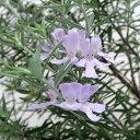 オーストラリアンローズマリー花木 庭木の苗/ウエストリンギア:緑葉紫花5号ポット