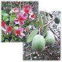 一番人気品種。1本でも実をつけます!花木 庭木の苗/フェイジョア:アポロ5号ポット