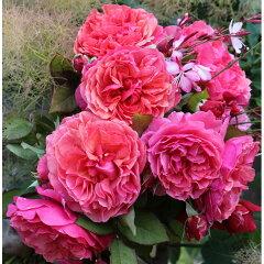 繰り返し咲き フランボワーズピンクのクォーターロゼット咲きギヨーローズ:ラデュレ大苗角鉢植え