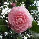 大型 2〜3月咲き花木 庭木の苗/オトメツバキ(乙女椿)根巻きまたは8号ルートバッグ入り樹高80cm