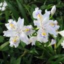 【日陰の庭に! 】草花の苗/シャガ3.5号ポット12株セット