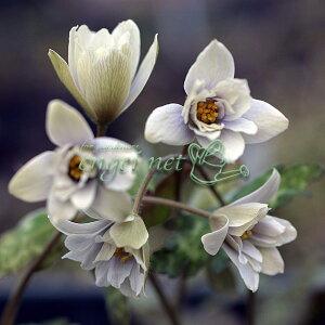山野草の苗/ユキワリイチゲ2芽入り3号ポット