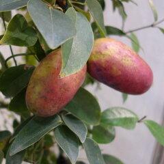 つる性常緑低木 フェンスや緑のカーテンに 苗木果樹の苗/ムベ:大実ムベ3.5号ポット