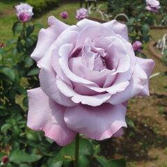 香りのよい青系バラハイブリッドティー:シャルル ドゴール新苗