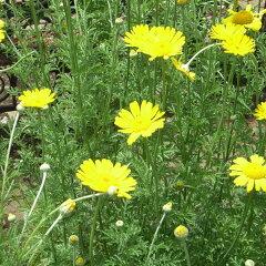 ハーブ苗 花と葉を、乾燥させてリース、ポプリにハーブの苗/カモミール:ダイヤーズカモミール3...