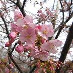 花木 庭木の苗/桜:河津桜接木苗4〜5号ポット
